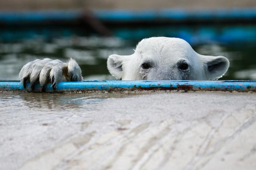 Niedźwiedź polarny z moskiewskiego zoo /AFP