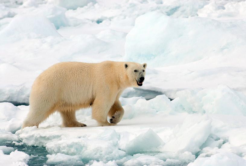 Niedźwiedź polarny zabił mężczyznę na Spitsbergenie /AGAMI/R. de Haas via www.imago-images.de /East News