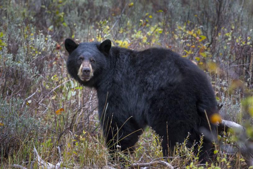 Niedźwiedź poranił uczestniczkę maratonu w Nowym Meksyku /Thomas Fikar /123RF/PICSEL