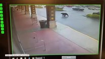 Niedźwiedź próbował wejść do sklepu monopolowego