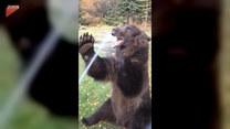 Niedźwiedź uwielbia brać kąpiele