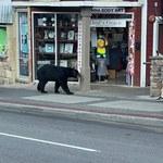 Niedźwiedź wszedł do restauracji. Tłumy ruszyły za nim!