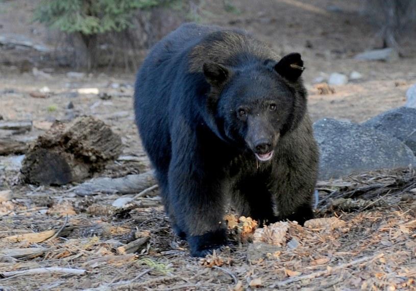 Niedźwiedź zaatakował biegaczkę /AFP