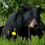 Niedźwiedź zaatakował kobietę w wychodku. Zranił ją w pupę