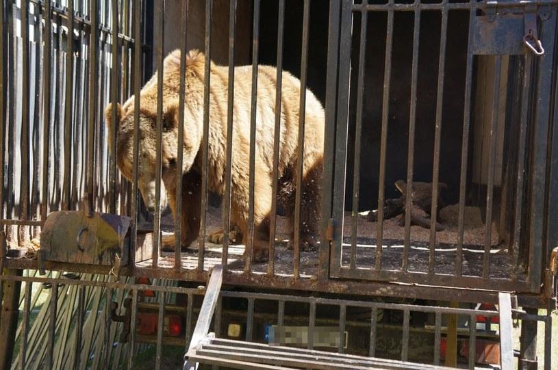Niedźwiedź zarekwirowany przez policję /Policja
