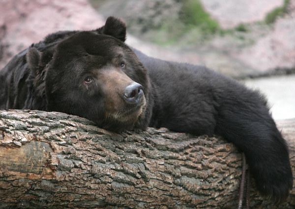 Niedźwiedź /AFP