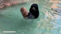 Niedźwiedzi problem. Chciałby popływać, ale kłoda nie współpracuje