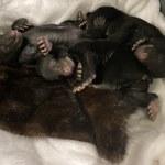 Niedźwiedzia jama pod własnym domem. Do odkrycia doprowadził wyciek gazu