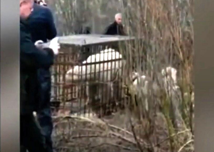 Niedźwiedzia zwabiono do klatki rybami spryskanymi dodatkowo olejem rybnym /YouTube/TRANS BY /