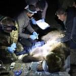 Niedźwiedzica harcowała w pasiekach. Czesi wezwali na pomoc polskich przyrodników