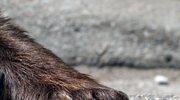 Niedźwiedzica z Podkarpacia może zamieszkać w Gołuchowie