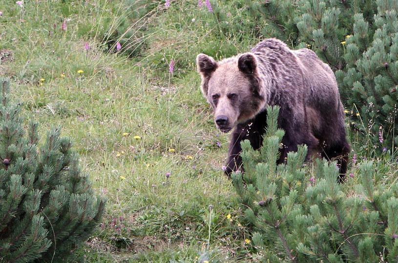 Niedźwiedzicę zazwyczaj można spotkać razem z młodymi, którymi się opiekuje /Hubert Matys/REPORTER /East News