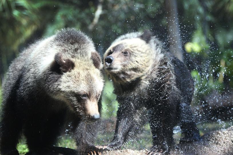 Niedźwiedzie grizli /AFP