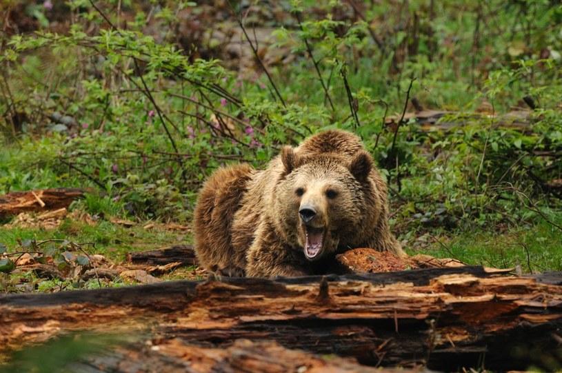 Niedźwiedzie opusiły już swoje legowiska /imago stock&people /East News
