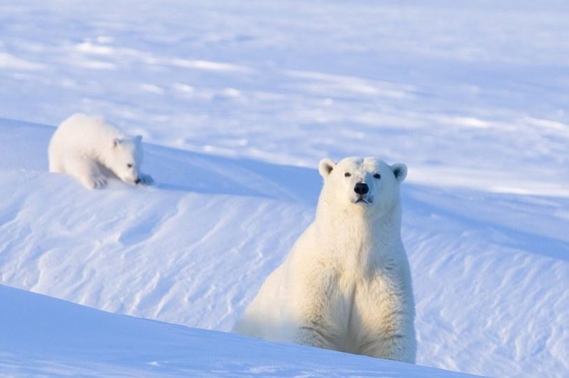 Niedźwiedzie polarne /Steven Kazlowski /Getty Images