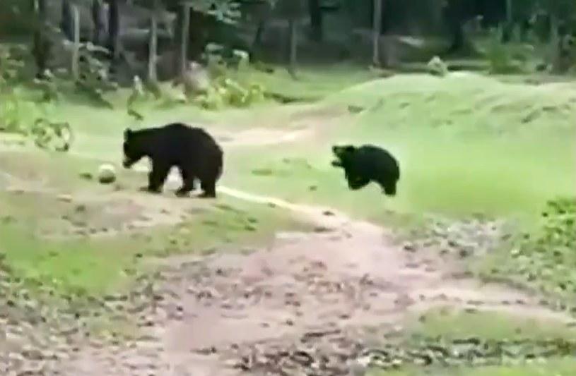 Niedźwiedzie w niecodziennej roli /Twitter