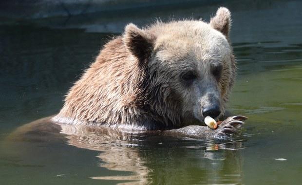 Niedźwiedzie znikną z wybiegu przy Alei Solidarności. To tam wtargnął pijany 23-latek