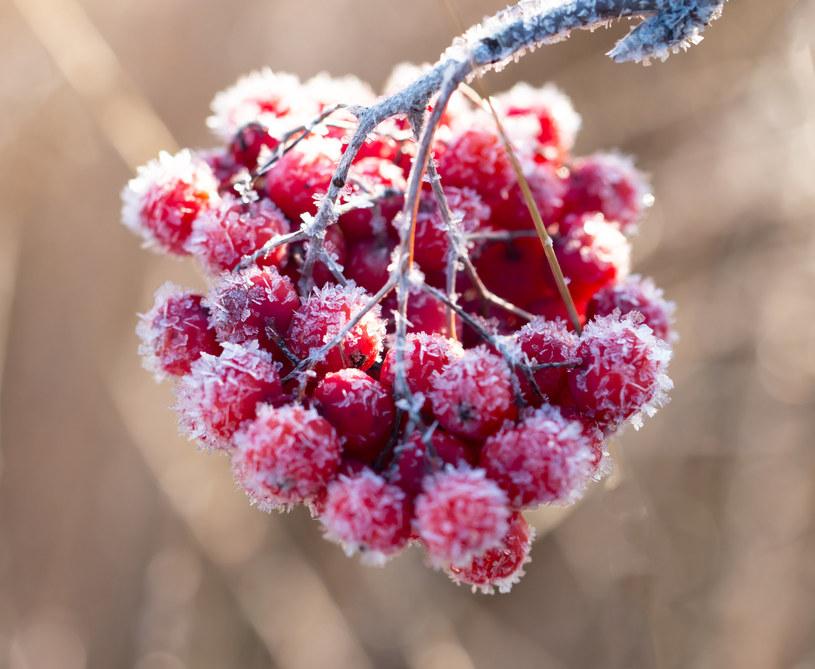 Niekóre owoce należy zbierać dopiero po przymrozkach /123RF/PICSEL