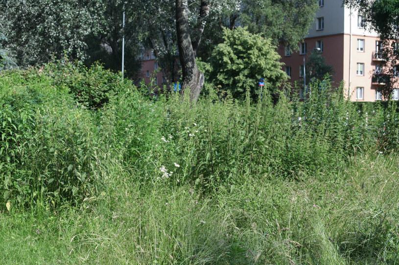 Niekoszony trawnik na osiedlu w Warszawie. /Anna Golaszewska/East News /East News