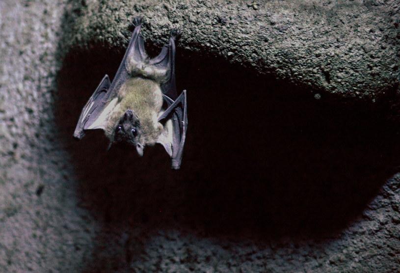 Niektóre gatunki nietoperzy mogą latać nawet z prędkościami przekraczającymi 160 km/h /AFP