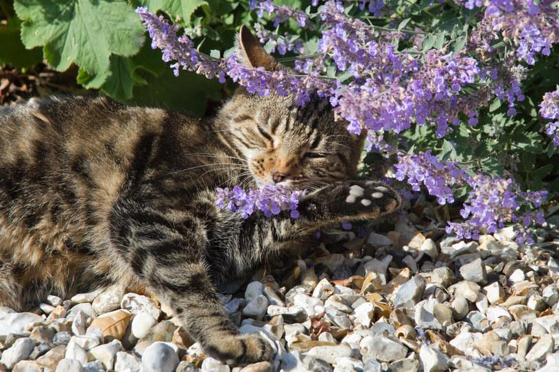 Niektóre koty bardzo silnie oddziałują na kocimiętkę /123RF/PICSEL