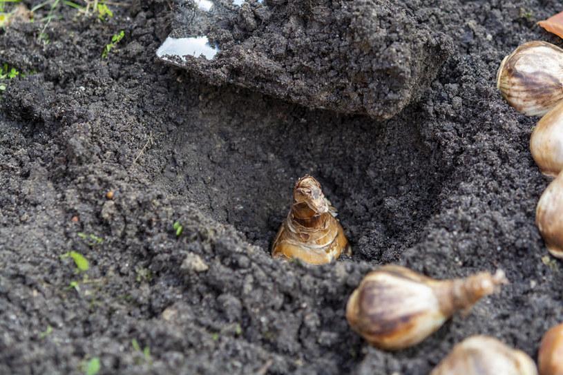 Niektórzy sadzą cebulki zbyt głęboko. One rozwijają się później /123RF/PICSEL