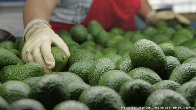 Niemcy bez wątpienia kochają awokado. Import tych owoców wzrósł pięciokrotnie w ciągu dekady /Deutsche Welle