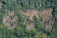 Niemcy: Kornik drukarz niszczy lasy