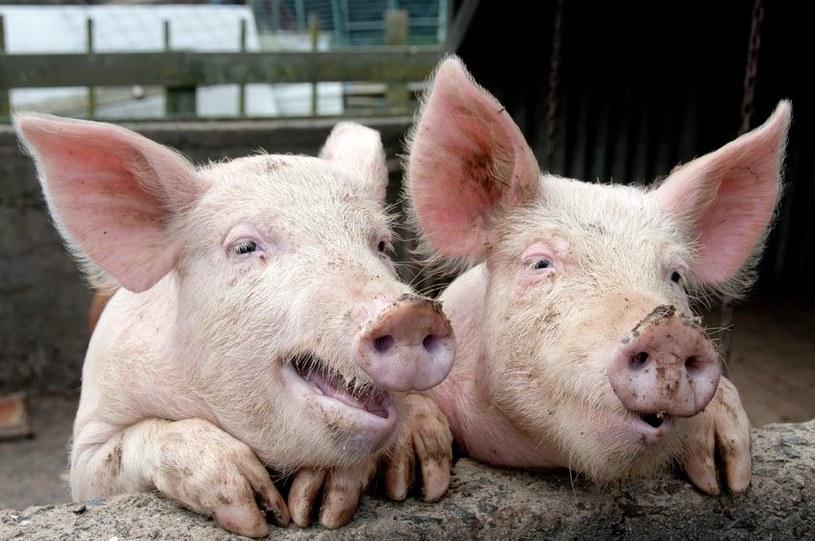 Niemiecka wieprzowina uderzy w ceny w Polsce /123RF/PICSEL