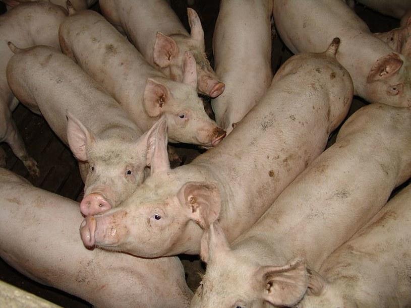 Niemiecki rolnik miał porzucić świnie przed dziewięciu laty. Zwierzęta nie przeżyły, a ich zwłoki uległy mumifikacji. Zdjęcie ilustracyjne /piqsels.com /