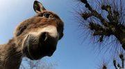 Niemieckie media piszą o osłach z poznańskiego zoo