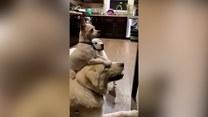 Nieoceniona przyjaźń. Te psy mogą zawsze na siebie liczyć