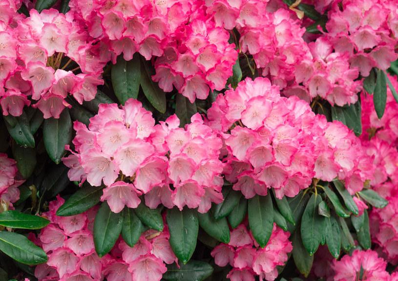Nieodpowiednia pielęgnacja rododendrona może sprzyjać żółknięciu liści /123RF/PICSEL