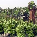 Niepokojący raport: Banany wyprą ziemniaki?