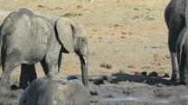 Nieporadne słoniątko potrzebowało pomocy starszej siostry