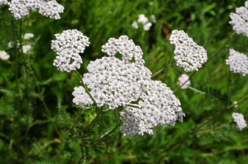 Niepozorna roślina ma wielką moc /123RF/PICSEL