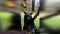 Nieproszony gość w ogródku. Niedźwiedź dobrał się do karmnika