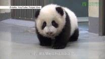 Niesforna panda nie chce spać