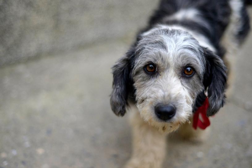 Niestrawność u psa to częsty problem /123RF/PICSEL