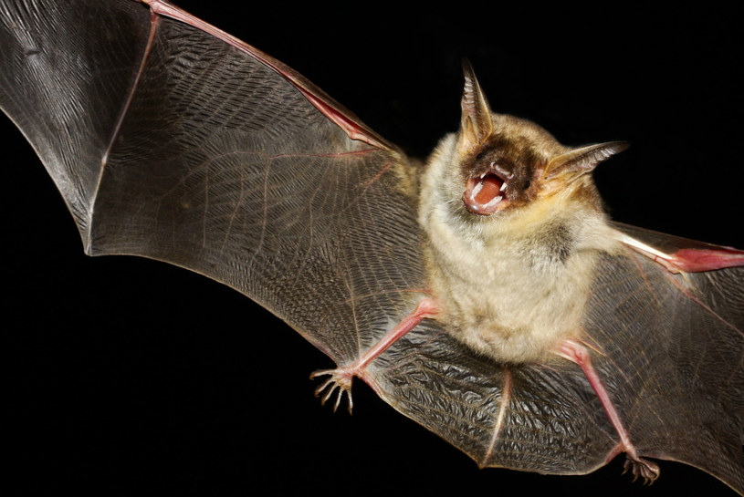 Nietoperze kryją znacznie wiecej tajemnic, niż się nam wydawało /123RF/PICSEL