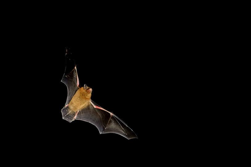 Nietoperze mogą skrywać tysiące nieznanych koronawirusów /123RF/PICSEL