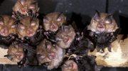 Nietoperze szykują się do opuszczenia zimowiska
