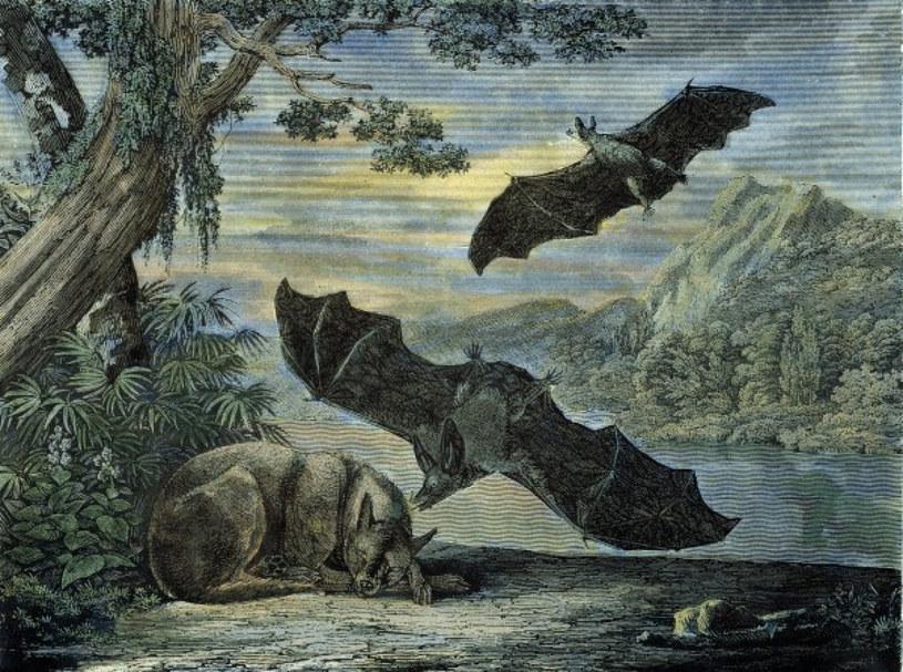 Nietoperze-wampiry na dawnej rycinie. W rzeczywistości są mniejsze i jeśli atakują, to bydło /East News