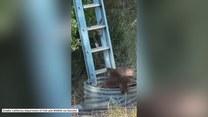 Nietypowa akcja ratunkowa. Niedźwiedzia mama i maluchy skorzystały z drabiny, by wydostać się ze studni