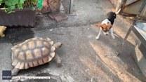Nietypowa gonitwa. Psa ściga… żółw