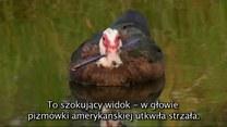 Nieufna kaczka ze strzałą w szyi