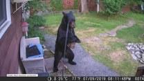Nieustraszony pies przepędził niedźwiedzia z posesji sąsiadów