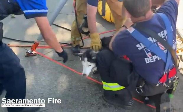 Niewidomy pies uratowany przez strażaków. Wydobyli go ze studzienki kanalizacyjnej
