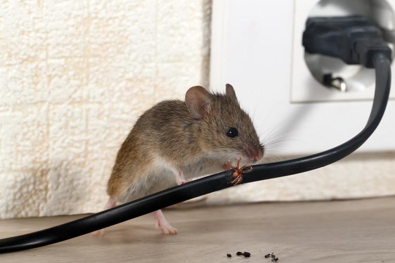 Niewiele trzeba, aby mysz stała się naszym współlokatorem. Eksmisja jest bardzo trudna /123RF/PICSEL