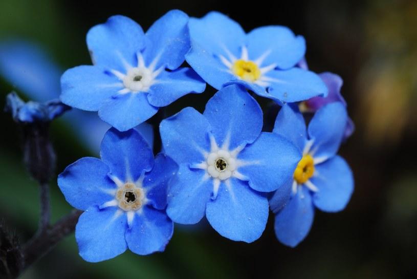 Niezapominajka pięknie kwitnie /123RF/PICSEL
